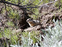 Southern Idaho ground squirrel (Spermophilus brunneus endemicus), candidate.jpg