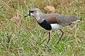 Southern Lapwing (Vanellus chilensis) (29062500655).jpg