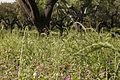 Sown Biodiverse Pasture.JPG