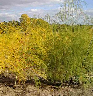 Spargelkraut des Gemüsespargel oder Garten-Spargel (Asparagus officinalis)