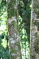 Spathodea campanulata 4zz.jpg