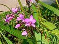 Spathoglottis plicata (452052124).jpg