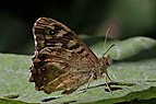 Speckled wood butterfly (Pararge aegeria) male underside 2.jpg