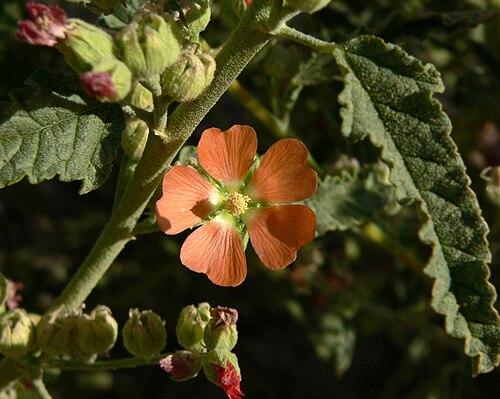 500px sphaeralcea angustifolia 3