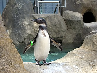 National Aviary - An African penguin (Spheniscus demersus) at the Penguin Point exhibit.