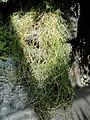 Sporobolus virginicus - United States Botanic Garden - DSC09548.JPG