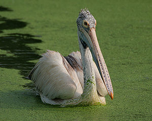 Spot-billed Pelican (Pelecanus philippensis) at Uppalapadu in AP W IMG 3451.jpg