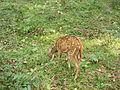 Spot Deer 2.JPG