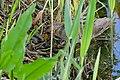 Spotted Crake (Porzana porzana) (26542589685).jpg