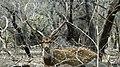 Spotted Deer Gir Gujarat.jpg
