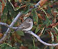Spotted Flycatcher MSH Sourav.jpg