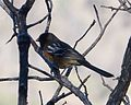 Spotted Towhee. Pipilo maculatus - Flickr - gailhampshire.jpg