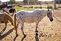 Spotted foals, in Maremma.jpg