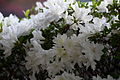 Spring-white-flowers-azalea - West Virginia - ForestWander.jpg