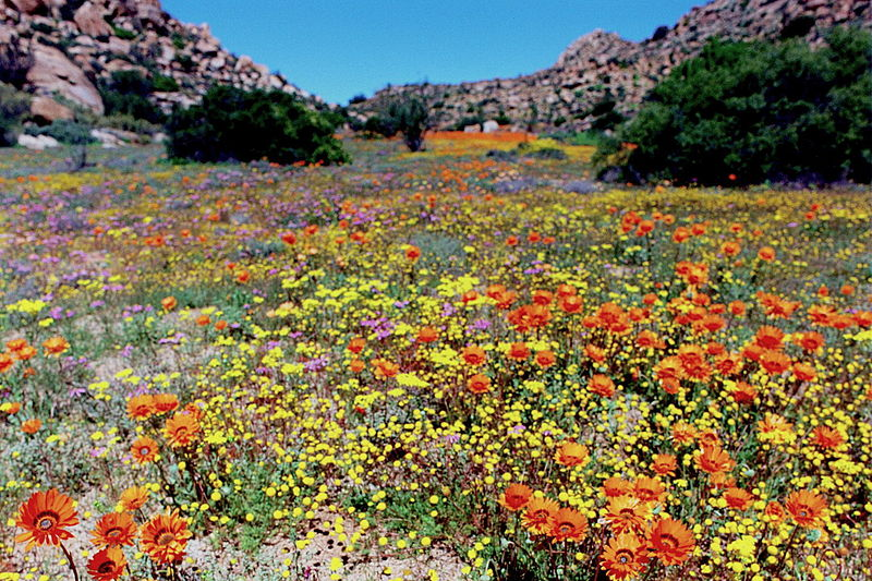 http://upload.wikimedia.org/wikipedia/commons/thumb/2/22/Spring_in_Namaqualand.jpg/800px-Spring_in_Namaqualand.jpg