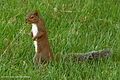 Squirrel with white chest (23320663075).jpg