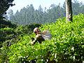 Sri Lanka-Province du Centre-Cueilleuse de thé (3).jpg