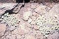 Starr-000502-1324-Tetramolopium humile subsp haleakalae-habit-HNP-Maui (24502574916).jpg