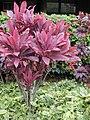 Starr-010420-0119-Cordyline fruticosa-red habit-Kahului-Maui (24424037342).jpg