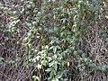 Starr-010423-0068-Passiflora tarminiana-habit-Kula-Maui (23904246264).jpg