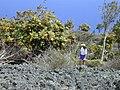 Starr-010714-0006-Bocconia frutescens-habit with Kim-Auwahi-Maui (24165213169).jpg