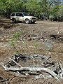 Starr-020118-0022-Myoporum sandwicense-planting-Kanaha pond-Maui (24250375130).jpg