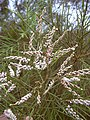 Starr-030923-0205-Tamarix aphylla-flowers-LZ1-Kahoolawe (24272487539).jpg