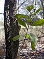 Starr-031013-0015-Acacia mangium-bark and leaves-Hamakuapoko-Maui (24555818002).jpg
