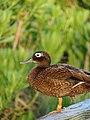 Starr-080531-4692-Eragrostis variabilis-habit with Laysan duck on railing-Clipper House Sand Island-Midway Atoll (24910585015).jpg