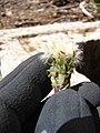 Starr-090504-7203-Taraxacum officinale-seedhead-Science City-Maui (24927816756).jpg