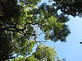 Starr-090623-1769-Tamarindus indica-canopy-Kaupo-Maui (24874004261).jpg