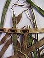 Starr-090625-1846-Acacia retinodes-voucher 090513 01-Waipoli Rd Kula-Maui (24873414111).jpg