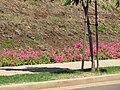 Starr-090721-3239-Antigonon leptopus-landscaping-Wailuku-Maui (24877119471).jpg