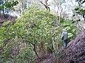 Starr-091115-1162-Aleurites moluccana-habit with Forest-Olinda-Maui (24359373554).jpg