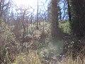 Starr-100303-3185-Rubus niveus-rebounding under burnt trees-Polipoli-Maui (24384489543).jpg