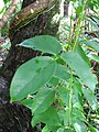 Starr-110330-3824-Strongylodon macrobotrys-leaves-Garden of Eden Keanae-Maui (25054447596).jpg