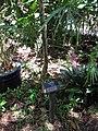 Starr-110330-4212-Pimenta dioica-habit with plant label-Garden of Eden Keanae-Maui (24450734064).jpg