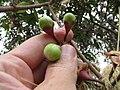 Starr-110629-6422-Syzygium jambos-flower buds-Ulupalakua-Maui (24979384232).jpg