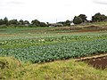 Starr-120403-4135-Brassica oleracea var capitata-crop-Kula-Maui (24842833220).jpg