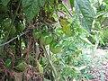 Starr-120415-4664-Solanum lycopersicum-fruit Grape variety-Hawea Pl Olinda-Maui (24843792960).jpg