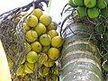 Starr-120522-6059-Areca catechu-fruit-Iao Tropical Gardens of Maui-Maui (24512405094).jpg
