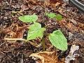 Starr-120620-7548-Jatropha curcas-seedling-Kula Agriculture Park-Maui (25027616572).jpg