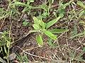 Starr-130319-2827-Sida rhombifolia-leaves and inflorescences-Rock Quarry Beach Mokolea Pt Kilauea Pt NWR-Kauai (24577566124).jpg