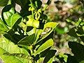 Starr-140119-3194-Citrus aurantifolia-leaf with Citrus Swallow tail butterfly larva-Hawea Pl Olinda-Maui (25239283705).jpg