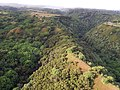 Starr-141014-2230-Caesalpinia decapetala-aerial view-Kakipi Gulch Haiku-Maui (24616638984).jpg
