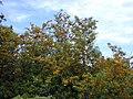 Starr 030418-0023 Grevillea robusta.jpg