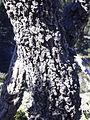 Starr 040214-0071 Sophora chrysophylla.jpg