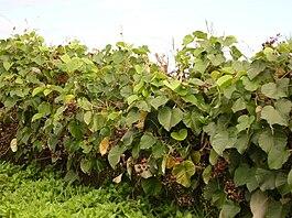 Купить семечки гавайской розы в спб где купить цветы оптом в г.орле