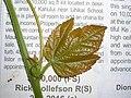Starr 060905-8780 Passiflora vitifolia.jpg