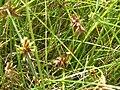 Starr 061108-9645 Cyperus trachysanthos.jpg